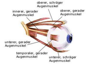 Die sechs Augenmuskeln